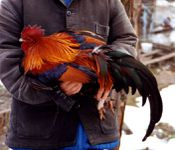 Pictave coq photo G JOUVE