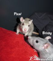 Photo Rat, Pixel et Brisby - 08.06.11