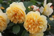 Rosier 'Graham Thomas' (1)