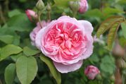 Rosier anglais 'Cottage rose'