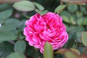 Rosier anglais 'Noble Anthony'