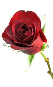 Blumen-Rose