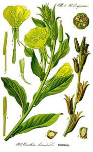 250px-Illustration Oenothera biennis0 clean
