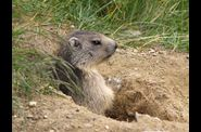 Marmottes-2009