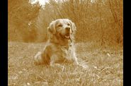 golden-retriever-ugo-ballade.jpg