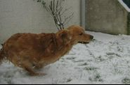 golden_retriever_ugo_neige_017.jpg