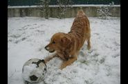 golden_retriever_ugo_neige_031.jpg