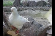 Photo animal domestique - pigeon blanc