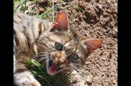Photo animal domestique - tete chat