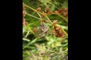 Photo animaux sauvages - araignee epeire diademe - araneus diadem