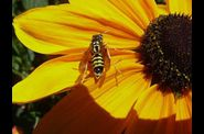Photo insecte - guepe sur fleur de rudbekia