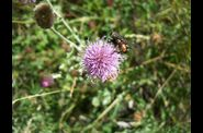photo insecte - mouche sur chardon des champs - fleur