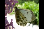 Photo papillon - aurore anthocaris cardamines femelle