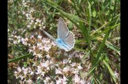 Photo papillon - azure du baguenaudier -