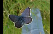 Photo papillon - azure du sepolet polyommatus arion