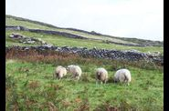 dingle-beehive-sheep.jpg