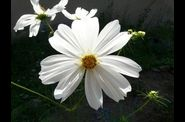 cosmos-blanc.jpg