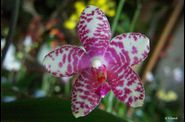 phal_ph040.jpg