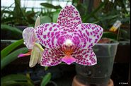 phal_ph056.jpg