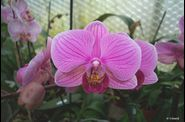 phal_ph061.jpg
