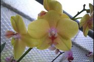 phal_ph062.jpg