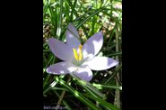 Crocus - Le blog de Jo copie