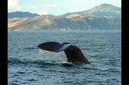 178-kaikoura-whale-watching-cachalot-queue-plongee.jpg