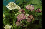 Astrantia-major-rosensymphonie.jpg