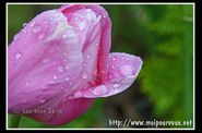 photo à l'eau de rose sur tulipe
