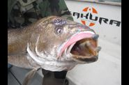 Maigre-de-19-kgs-au-fin-s-fish-rose.jpg