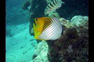2009-02-28-papillon-a-etendard--6-.jpg