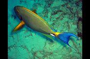 2009-06-06-poisson-chirurgien-hawaien--3-.jpg