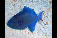 2009-10-03-Baliste-bleu-.jpg