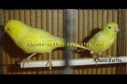 Canari