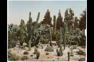 Photochromes-A Cactus Garden in California, c. 1902