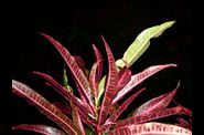 croton_rouge.jpg