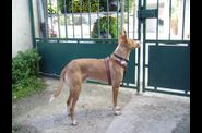 Burbuja podenco Lvriers Libres 2