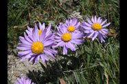 TMB Flore 2 Asters