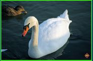 cygne.jpg