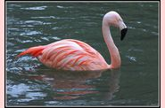 flamant-rose--600.jpg