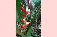 Heliconia