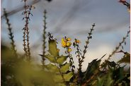 mahonia en fleur
