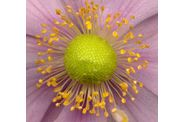Photo de fleur au scanner : anemone-du-japon-detail