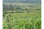 Vendanges-2009--2-00251.jpg