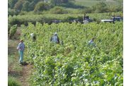 Vendanges-2009--2-00253.jpg