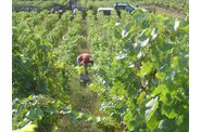 Vendanges-2009--2-00257.jpg
