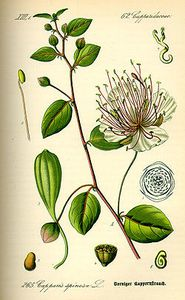 250px-Illustration_Capparis_spinosa0.jpg