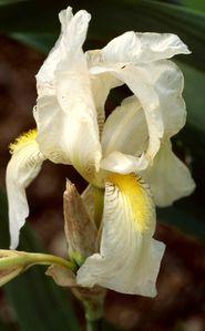 iris orjenii