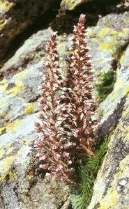 saxifrage-a-fleurs0001.jpg