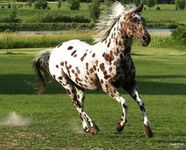 idaho appaloosa marron 6
